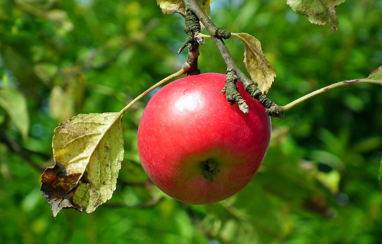 Фото обои листья, красное, яблоко, ветка, боке