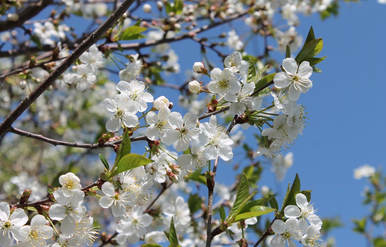 Фото обои солнце, цветы, тепло, весна, май, цветение, белые цветы