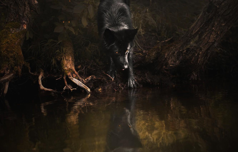 Фото обои лес, поза, отражение, темный фон, дерево, берег, собака, черная, водоем, немецкая овчарка, коряги