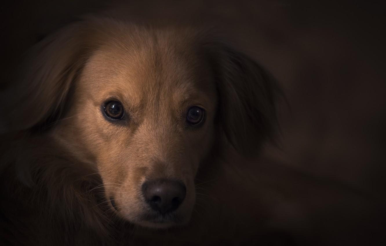 Фото обои глаза, взгляд, портрет, собака, щенок, ретривер