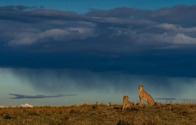 Фото обои гроза, поле, небо, тучи, дождь, пара, ливень, два, гепарды