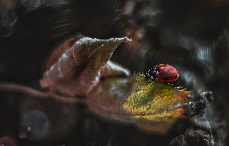 Фото обои макро, лучи, природа, лист, божья коровка, жук, арт, боке, Smirnova Olga