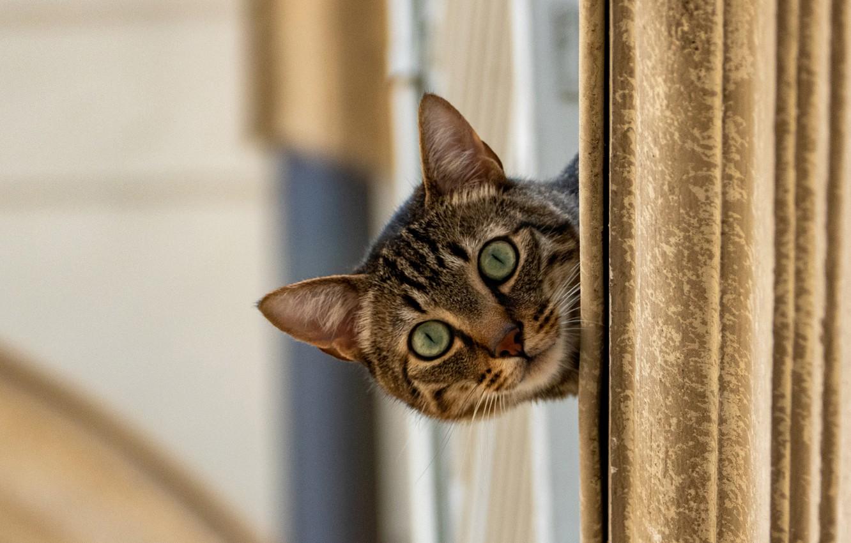 Фото обои кошка, кот, взгляд, мордочка, котейка