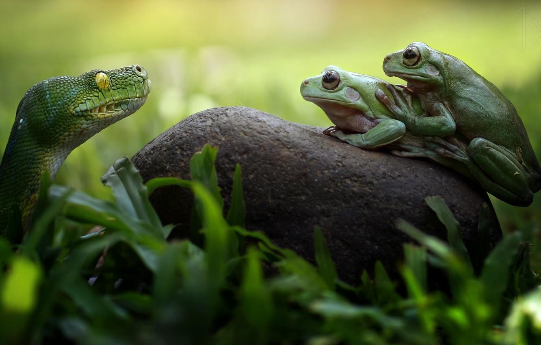 Фото обои змея, лягушки, snake, frogs, Fahmi Bhs