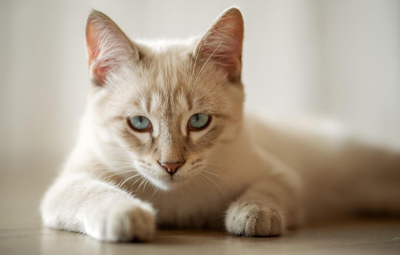 Фото обои кошка, взгляд, лапки, мордочка, голубые глаза, котейка