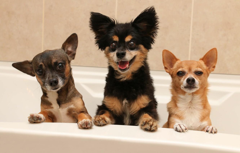 Фото обои собаки, ванна, трио, мордашки, Чихуахуа, троица, пёсики