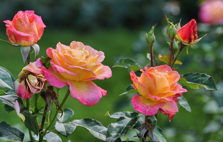 Фото обои цветы, куст, розы, боке
