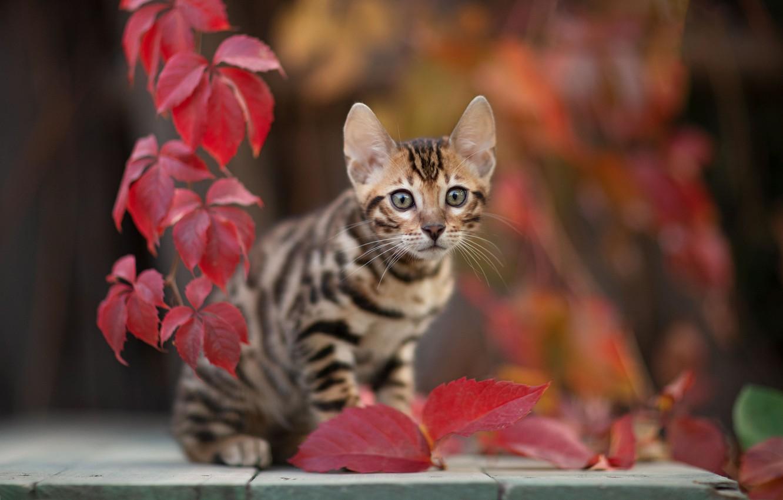 Фото обои кошка, взгляд, листья, котёнок, боке, котейка, Юрий Коротун