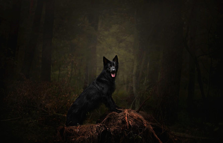 Фото обои лес, язык, деревья, ветки, поза, темнота, темный фон, заросли, собака, черная, коряга, прогулка, стоит, немецкая ...