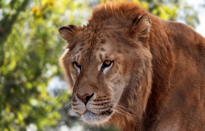 Обои портрет, морда, красавец, грива, кошки, дикие кошки, смотрит вверх, лев. Кошки foto 15