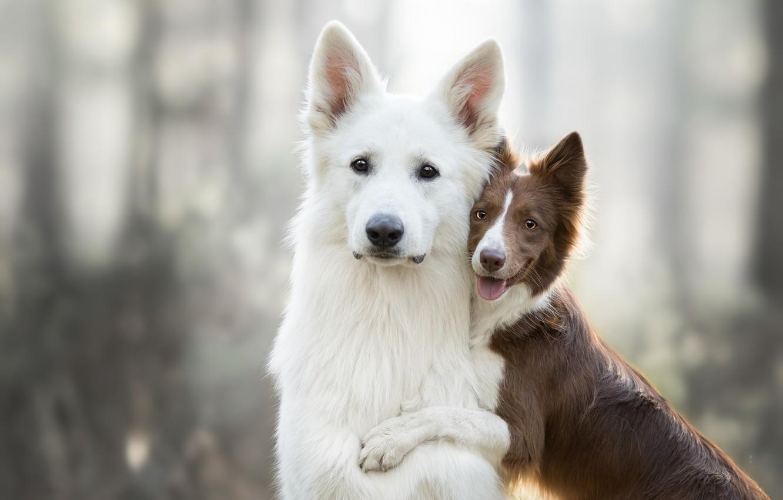 Фото обои собаки, поза, фон, две, щенок, дуэт, друзья, боке, две собаки, бордер-колли, швейцарская овчарка