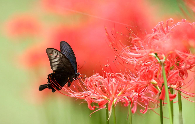 Фото обои макро, цветы, бабочка, лилия, размытие, красные, черная, насекомое, зеленый фон, пауковая лилия, пауковая