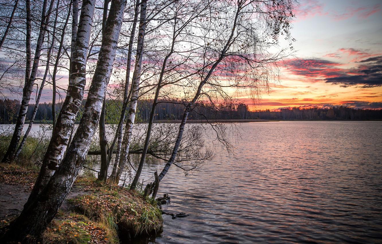 Фото обои осень, лес, деревья, закат, ветки, пруд, стволы, берег, вечер, березы, водоем, березки