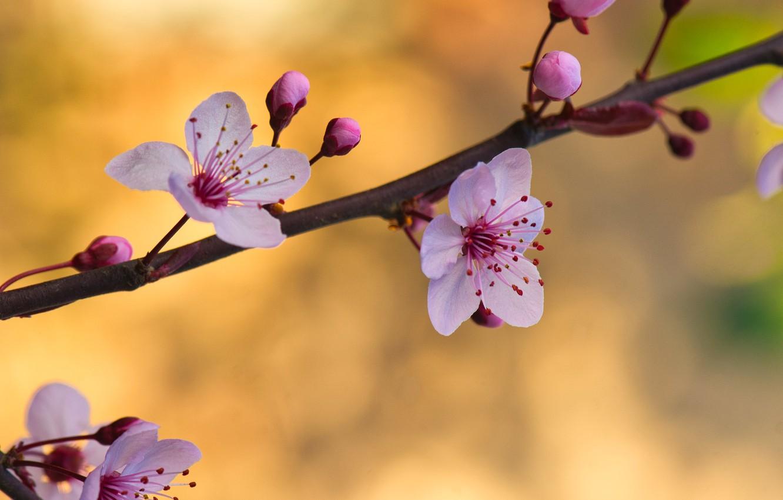 Фото обои цветы, фон, ветка, весна, бутоны