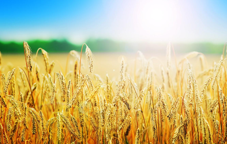 Фото обои пшеница, поле, лето, природа