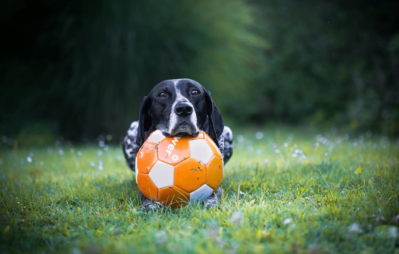 Обои Собака, мяч, друг. Собаки foto 6