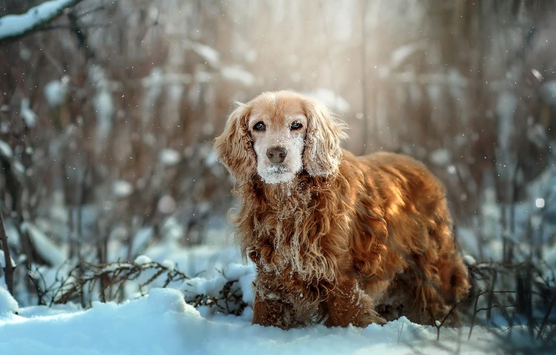 Фото обои зима, трава, снег, природа, животное, собака, кусты, пёс, спаниель