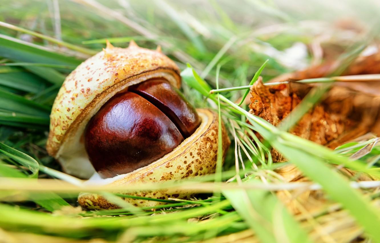 Фото обои осень, трава, макро, боке, близнецы, кожура, каштаны
