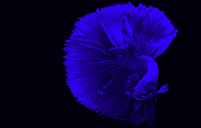 Фото обои blue, fish, betta