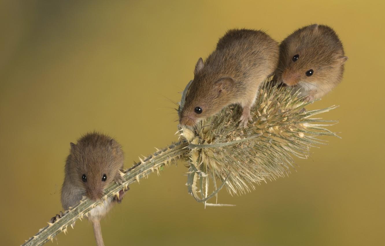 Фото обои мышь, трио, колючка