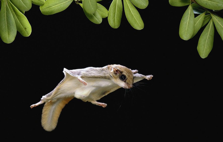 Фото обои листья, полет, белка, летяга