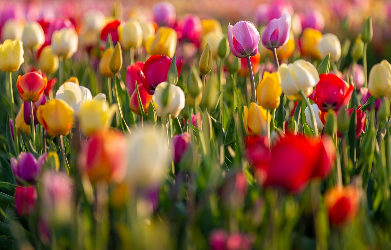Обои тюльпан, цветы, луг. Абстракции foto 11