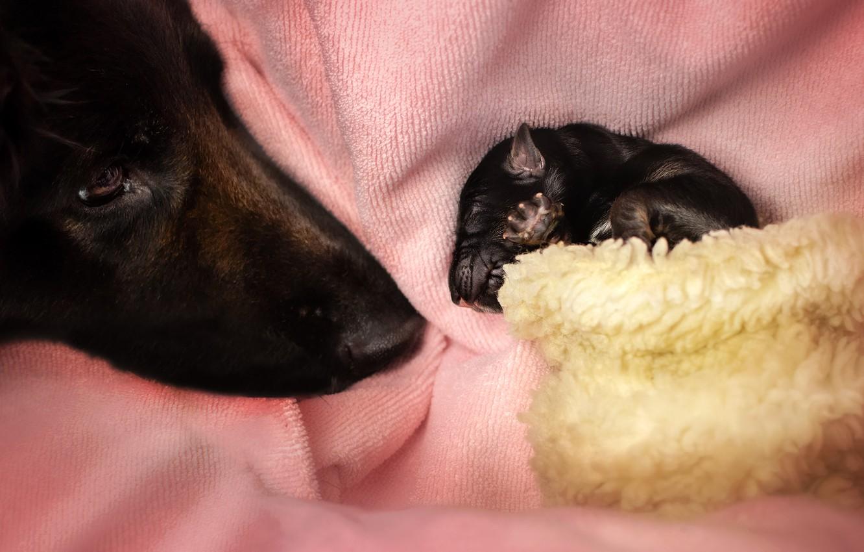 Фото обои животные, собаки, морда, щенок, детёныш, Екатерина Кикоть