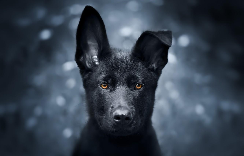 самых картинки рабочего стола черные собаки клинок