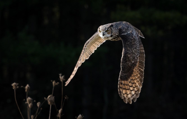 Фото обои полет, сова, крылья