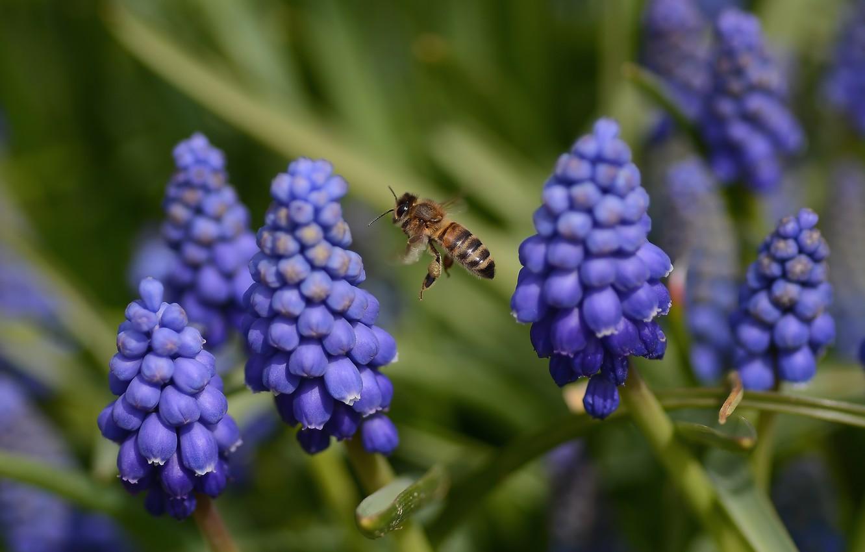 Фото обои полет, цветы, весна, пчелка, мускарики