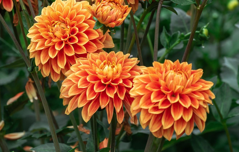 Обои стебель, цветок, оранжевая, Георгина, цветы. Цветы foto 19