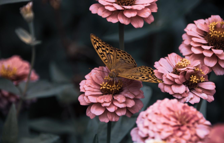 Фото обои листья, макро, цветы, бабочка, циннии