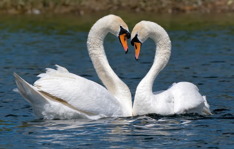 сих лебеди обнимаются в виде сердца фото наполнении