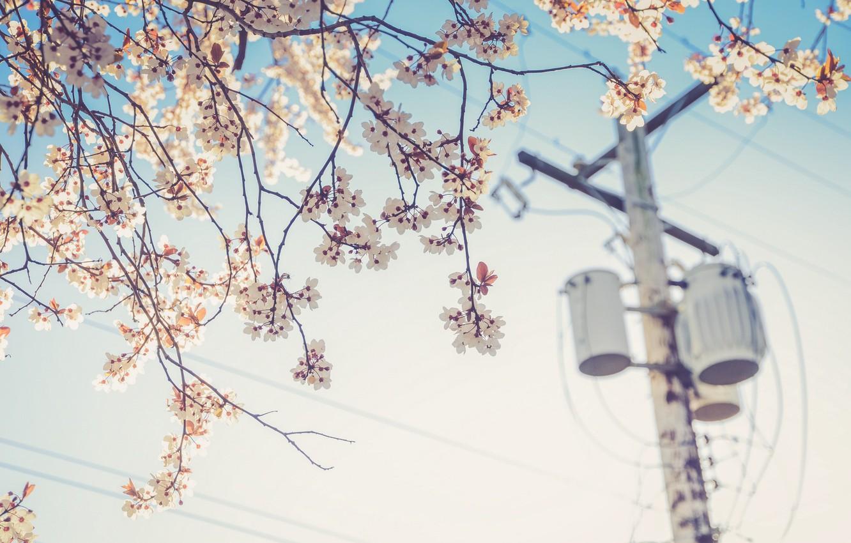 Фото обои цветок, вишня, провода, растение, столб, весна, электричество
