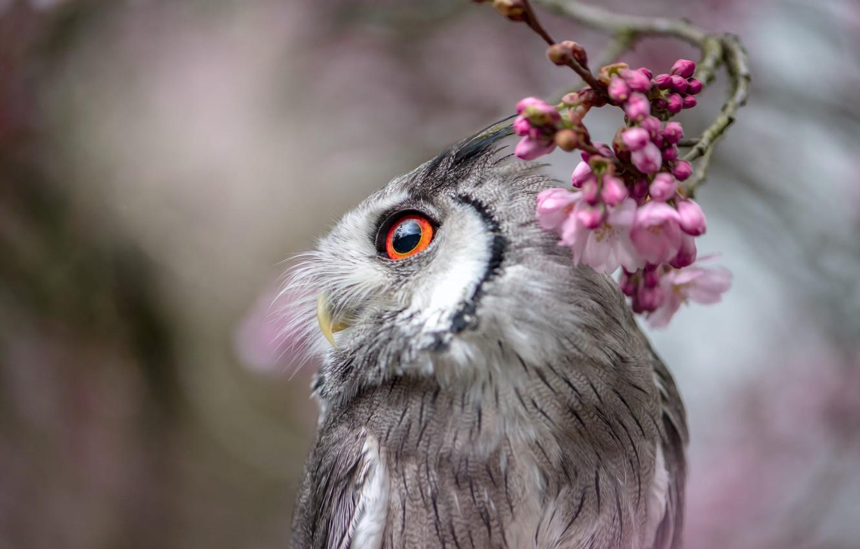 Фото обои глаза, взгляд, цветы, природа, серый, фон, сова, птица, портрет, размытие, ветка, весна, розовые, цветение, боке, …