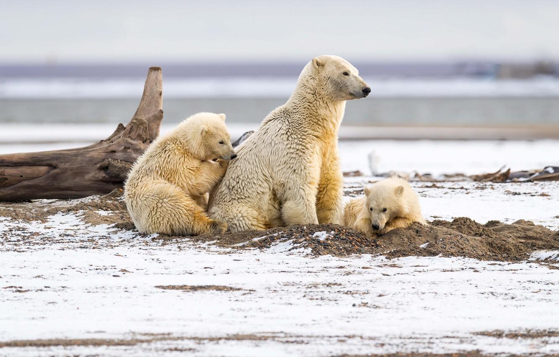 Фото обои зима, песок, белый, взгляд, снег, природа, дети, поза, берег, медведь, медведи, три, коряга, медвежата, белый …