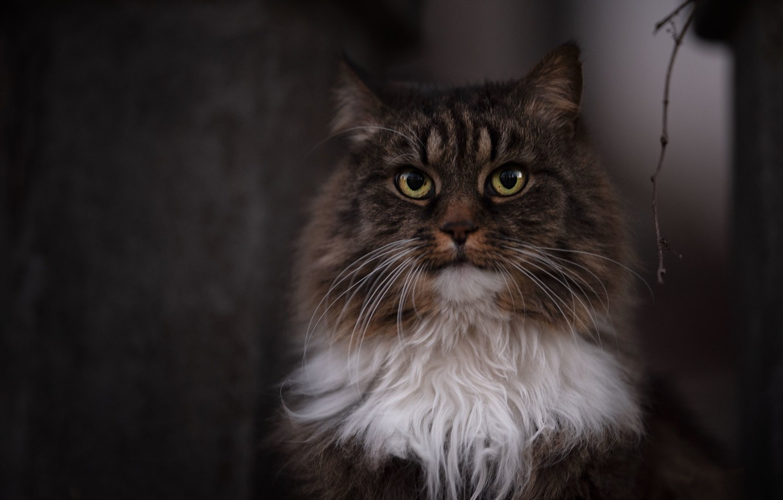 Фото обои кот, взгляд, пушистый, мордочка, котэ