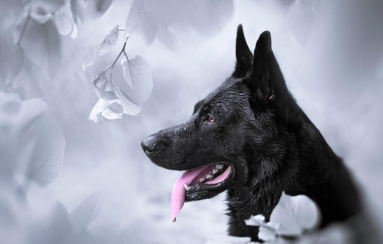 Фото обои морда, фон, собака, профиль, Немецкая овчарка