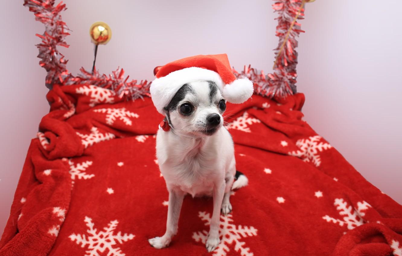 Фото обои рождество, собака, симпатичные животные