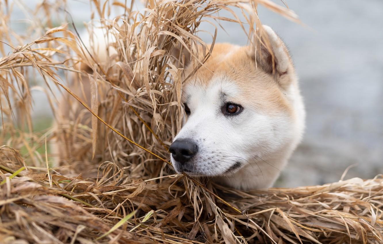 Фото обои трава, морда, собака, Акита-ину
