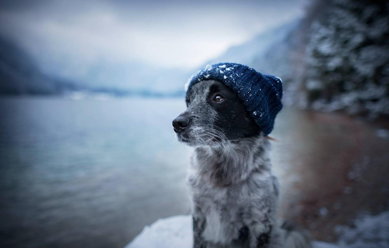 Фото обои морда, вода, снег, шапка, собака, пёс