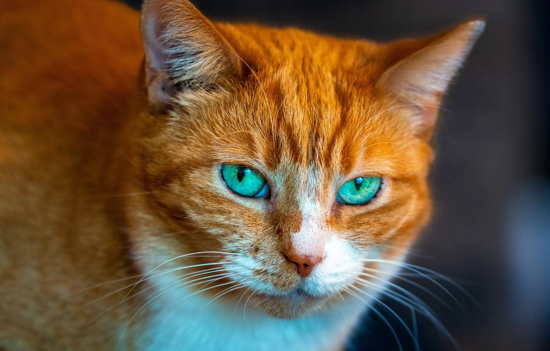 Фото обои кошка, кот, взгляд, портрет, рыжий, мордочка, зелёные глаза, котейка
