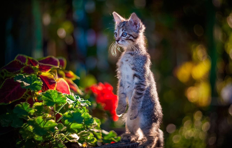 Фото обои цветы, котёнок, стойка, боке