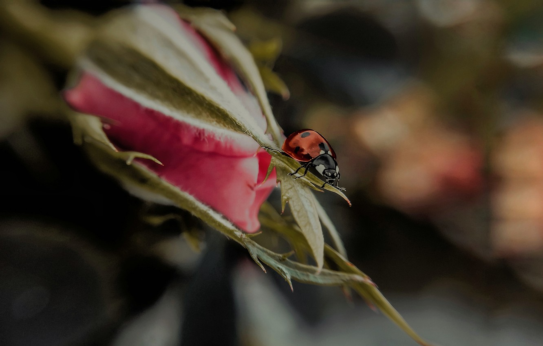 Фото обои цветок, макро, природа, роза, божья коровка, жук, бутон, арт, Smirnova Olga