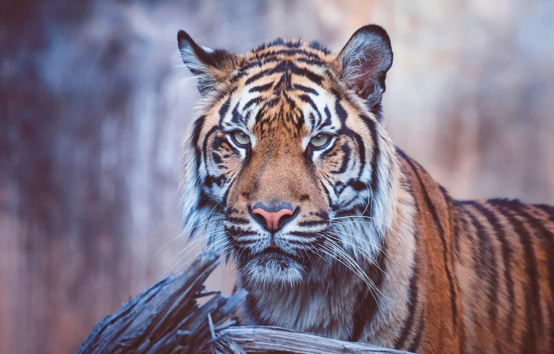 Обои портрет, морда, красавец, грива, кошки, дикие кошки, смотрит вверх, лев. Кошки foto 17