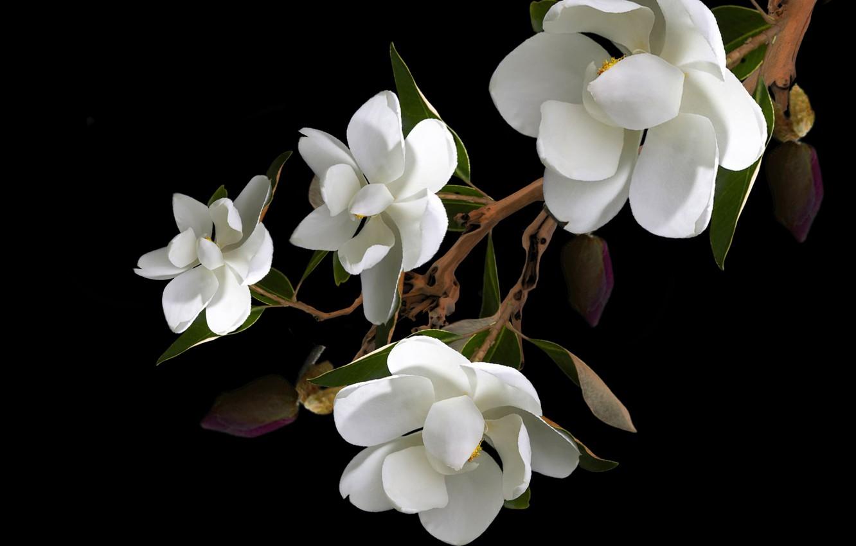 Фото обои flower, petals, branch, magnolias, pistils, stambs