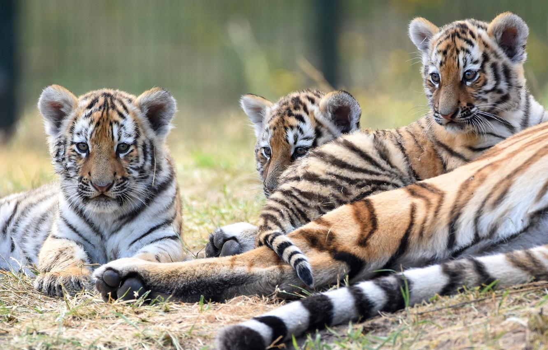 Фото обои три, малыши, дикие кошки, тигры, трио, тигрята, тигренок, лежат, тигрёнок, мордашки