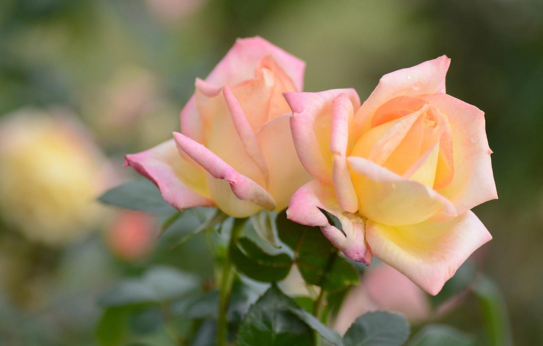 Фото обои макро, розы, лепестки, боке