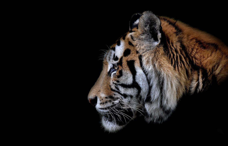 Фото обои кошка, тигр, зверь