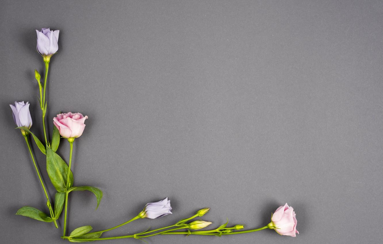 Фото обои цветы, фон, бутоны, pink, flowers, violet, эустома, eustoma